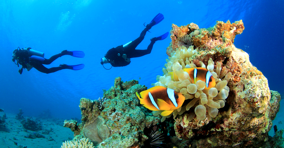 Scuba divers swim over coral reef with clown fish in an anemone eastern